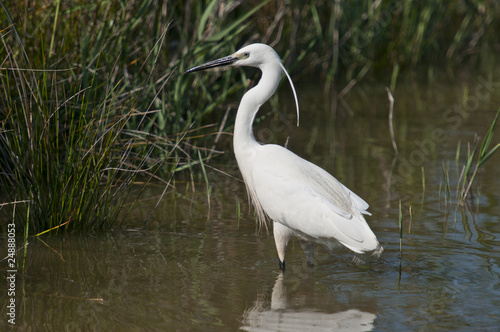Aigrette Canvas Print