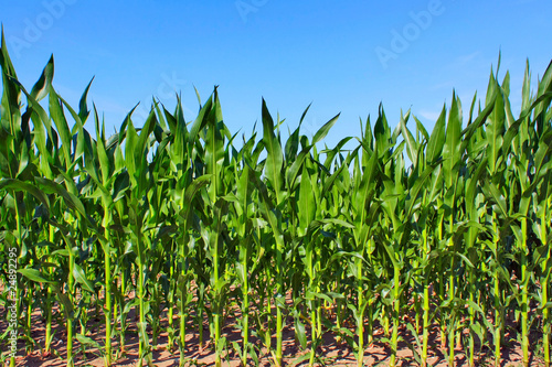 Fotografía green maize field