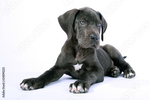 Foto  Liegende Deutsche Dogge