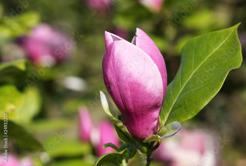 Photo  Mulan magnolia