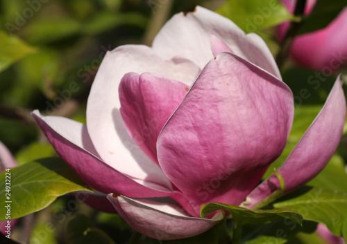 Photo  Mulan magnolia
