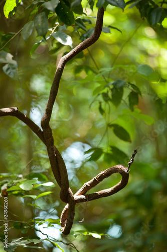 twisted liana in jungle Canvas Print