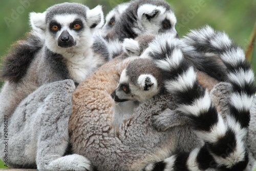 Family of Ring-Tailed Lemurs Canvas Print