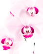 canvas print picture - rosa Orchidee