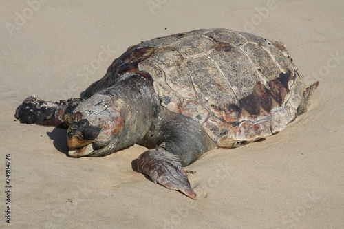 Photo  Tortuga muerta en la playa de Doñana