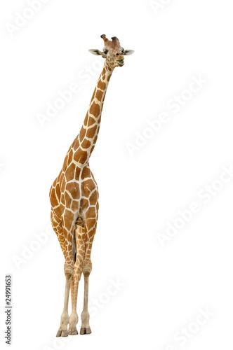 Poster de jardin Girafe giraffe isolated