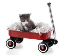 Wagon-Riding Kitty