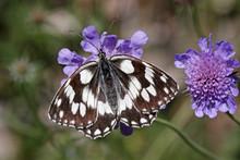 Melanargia Galathea, Schachbrett, Damenbrett - Marbled White