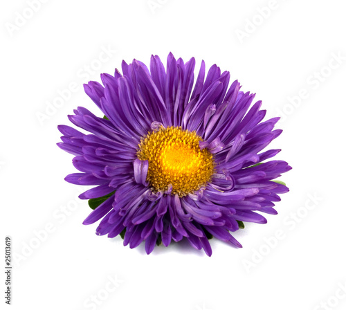 Photo aster