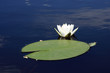The white waterlily