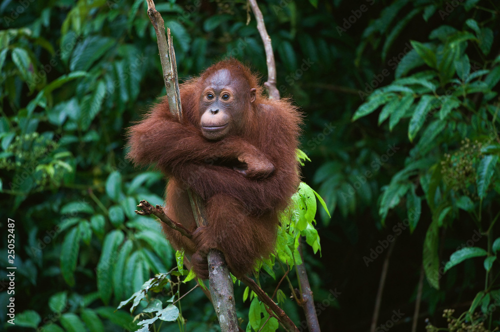 Fototapeta Young Orangutan on the tree