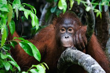 portrait of a little Orangutan