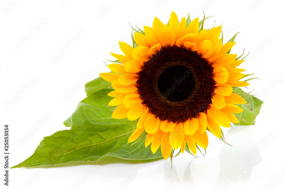 One beautiful sunflower over white background