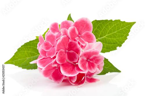 Papiers peints Hortensia pink hydrangea flower over white background