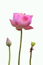 Three Level Of Lotus