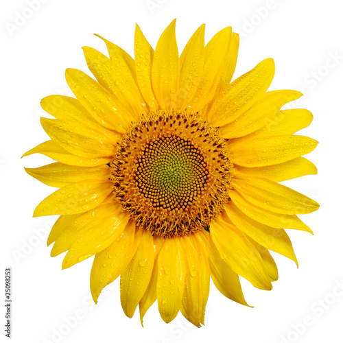 Spoed Foto op Canvas Zonnebloem Sunflower with dew drops on white background