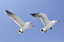 Twin Seagulls Flying With Blue...