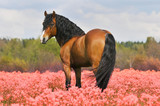 Fototapeta Konie - bay stallion on the pink field