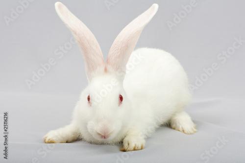 Fotografie, Obraz  White rabbit on a gray background