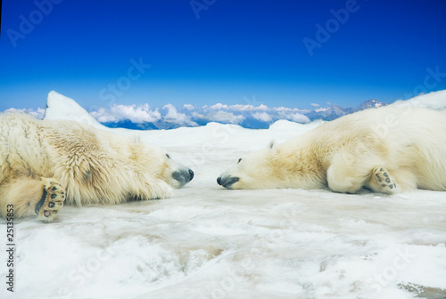 In de dag Ijsbeer Two polar bears sleep on ice