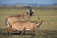 The Roan Antelope.