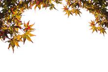 Japanese Maple Leaves Make Frame On Isolated White Background