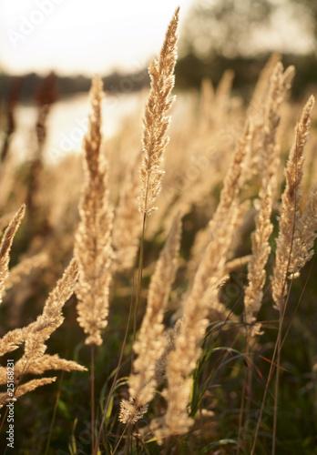 pozne-lato-srodpolna-trawa-w-wieczor-swietle