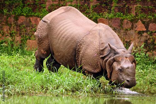 Fotografie, Obraz  Rhino bathing in river