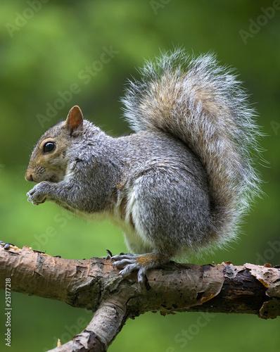 Foto op Canvas Eekhoorn eating tree squirrel