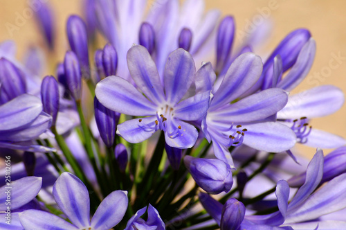 Agapanthus<br>@ p(AS)ob