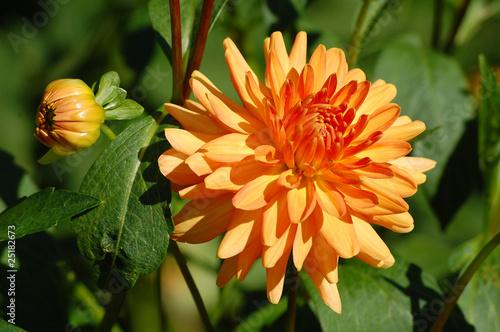 Orange Dahlie mit Knospe und Blätter<br>@ p(AS)ob