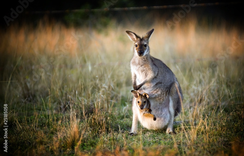 Cadres-photo bureau Kangaroo Kangaroo and Joey