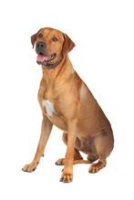 Rhodesian Ridgeback Dog Isolated On A White Background