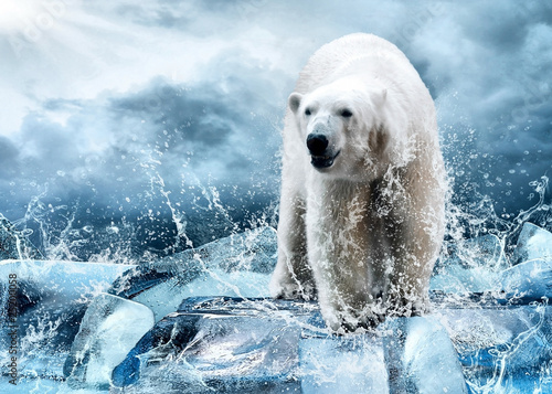 Canvas Prints Polar bear White Polar Bear Hunter on the Ice in water drops.