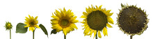 Sunflower Generations Isolated...