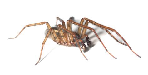 Web spider isolated on white background