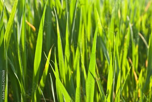 closeup green grass