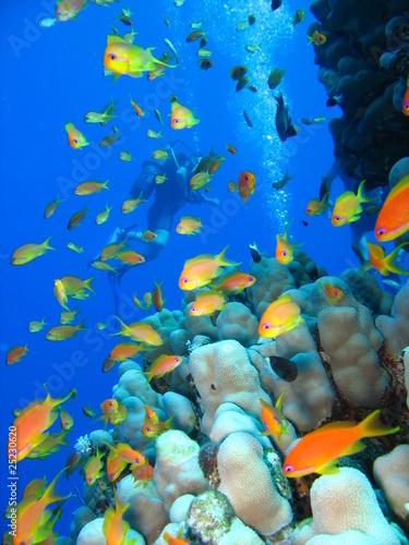 Barriera corallina e anthias