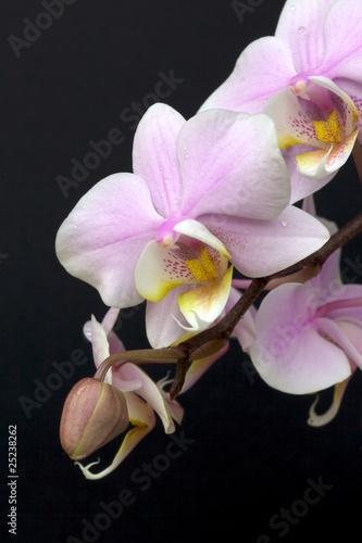 Fototapeta orchidea   miniaturowa-orchidea-w-sprayu