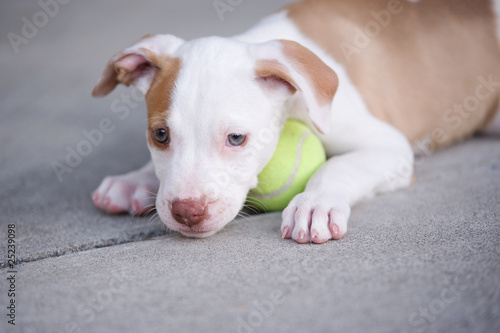 Fotografia, Obraz  Tired pitbull puppy