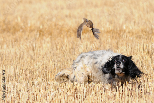 Foto op Canvas Jacht English setter hunting quail