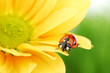 canvas print picture ladybug on yellow flower
