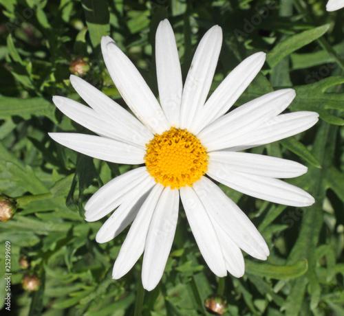 Fleur De Marguerite Des Champs Buy This Stock Photo And Explore