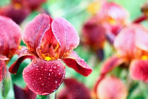 Poster Iris Bearded Iris