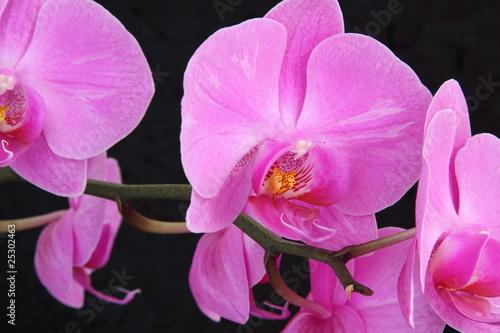 Fototapeta orchidea   storczyk-phalaenopsis