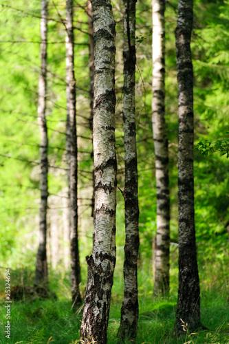 Deurstickers Berkbosje Birkenwald im Sonnenlicht 2