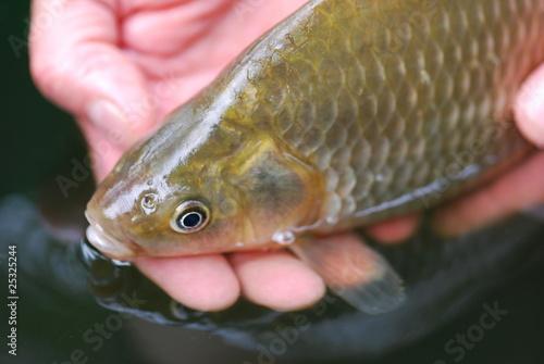 Fotobehang Vissen Karausche (Carassius carassius) seltene Fischart
