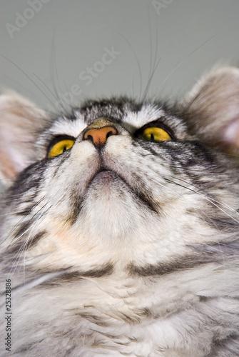 Keuken foto achterwand Kat porträt einer maine coon katze