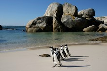 African Penguins At Boulders