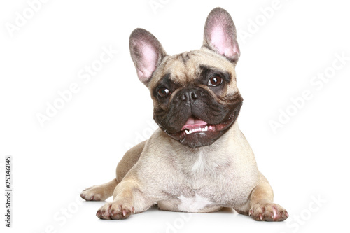Poster Bouledogue français French bulldog